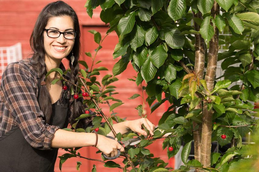Przycinanie wiśni przez młodą kobietę oraz cięcie wiśni po zbiorach krok po kroku, a także przycinanie młodych drzewek owocowych