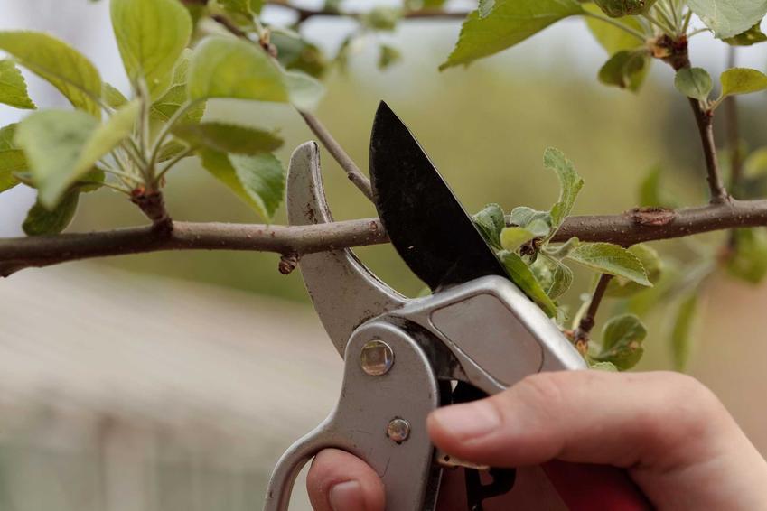 Przycinanie wiśni w ogrodzie oraz cięcie wiśni po zbiorach i sposoby na przycinanie drzewek owocowych w ogrodzie po zimie