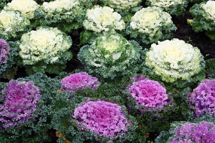 Kapusta ozdobna w ogrodzie i w doniczce oraz uprawa kapusty ozdobnej i jej odmiany różnego rodzaju krok po kroku