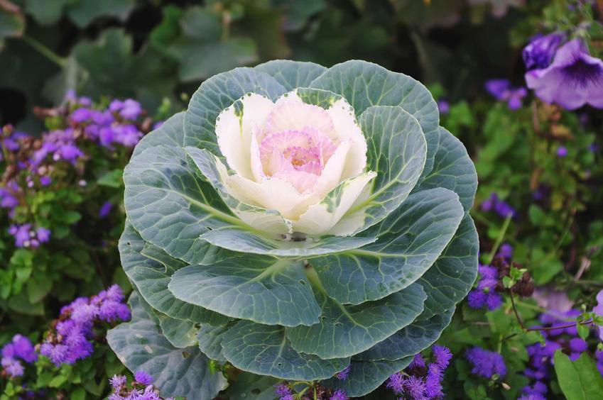 Kapusta ozdobna w ogrodzie i w doniczce oraz uprawa kapusty ozdobnej, a także jej najlepsze odmiany krok po kroku