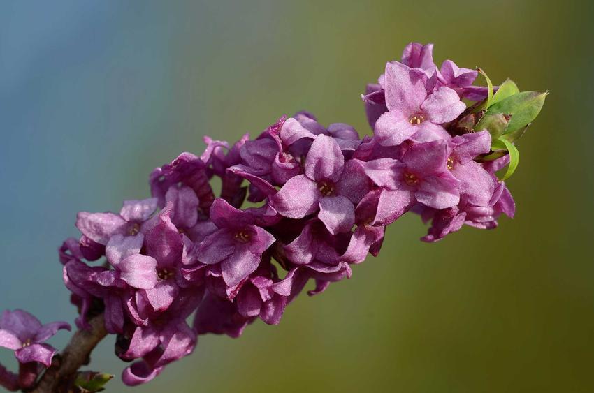 Wawrzynek wilczełyko w czasie kwitnienia jako roślina trująca oraz jego uprawa i pielęgnacja w ogrodzie oraz sadzenie