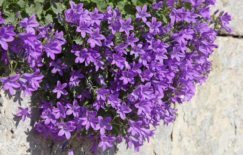 Dzwonek dalmatyński campanula portenschlagian w czasie kwitnienia, czyli kwiat dzwonek i uprawa kwitnącej byliny