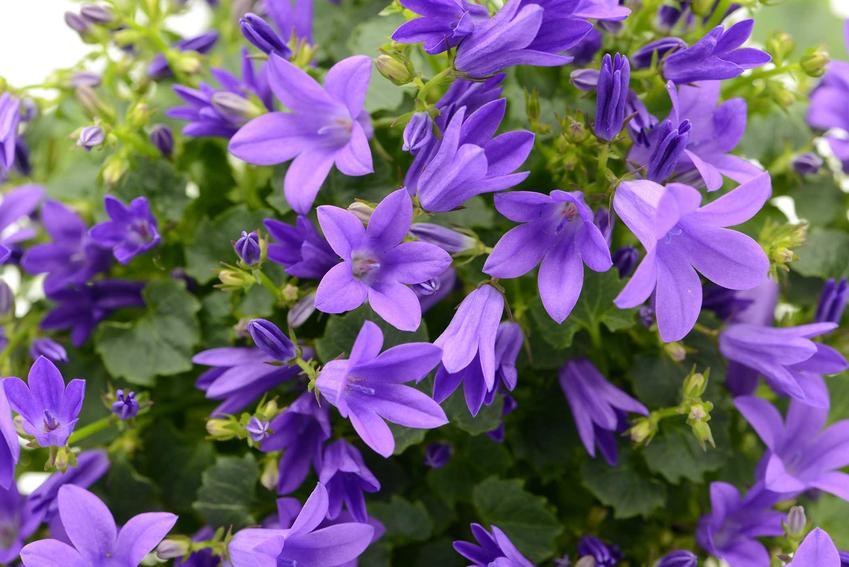 Dzwonek poszarskiego, campanula poscharskyana, czyli bylina wydająca niebieskie dzwonki, pielęgnacja, uprawa i sadzenie
