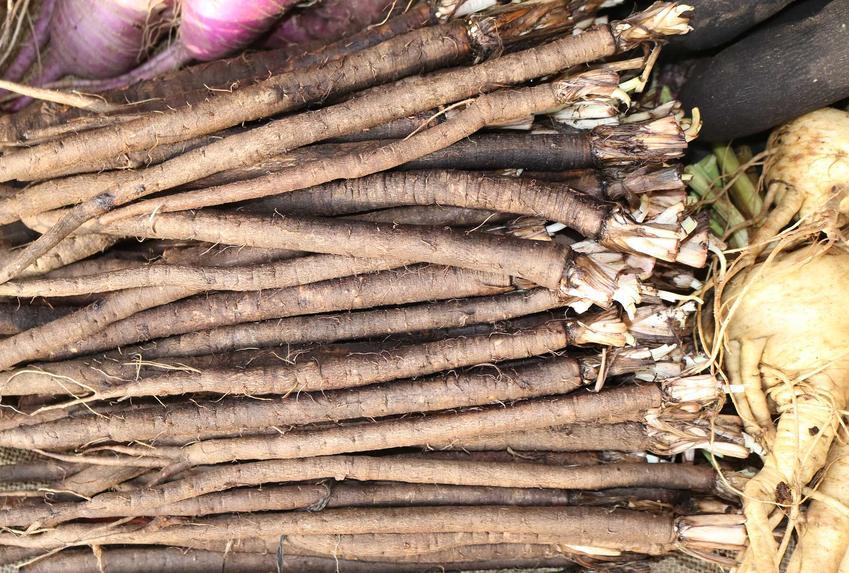 Wężymord, czarny korzeń lub skorzonera po zbiorach oraz jej uprawa i pielęgnacja w ogrodzie i wykorzystanie i gotowanie