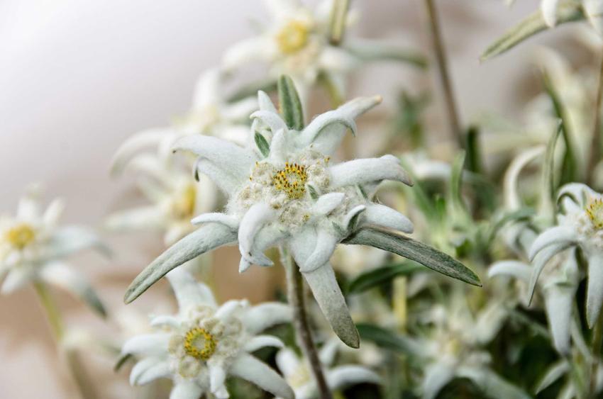 Szarotka alpejska, czyli kwiat szarotka górska w Tatrach oraz uprawa szarotki alpejskiej w ogrodzie, pielęgnacja i sadzenie