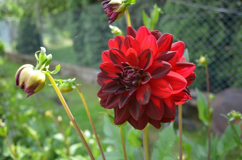 Georgina czy też dalia w ogrodzie jako kwitnący kwiat ogrodowy oraz jego uprawa i pielęgnacja - krok po kroku
