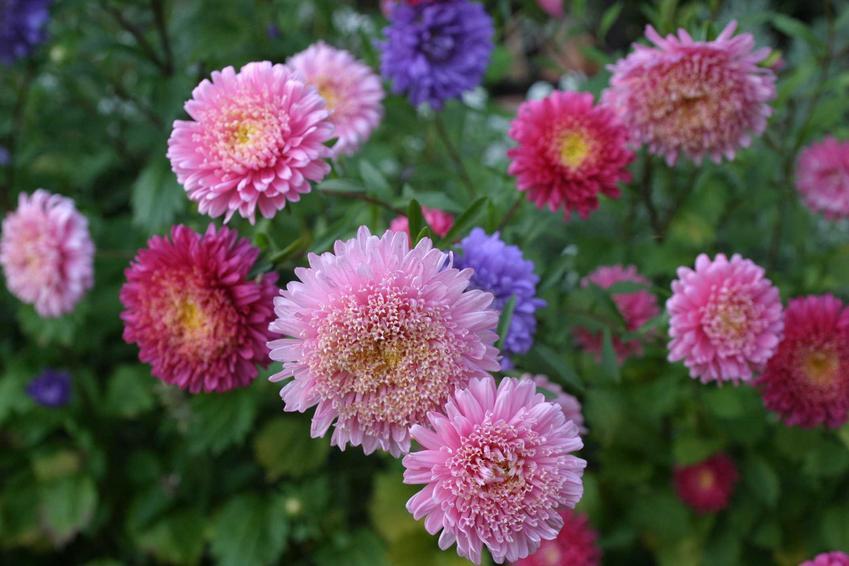 Georgina czy też dalia w ogrodzie w czasie kwitnienia oraz jej uprawa, rozmnażanie, przechowywanie i pielęgnacja