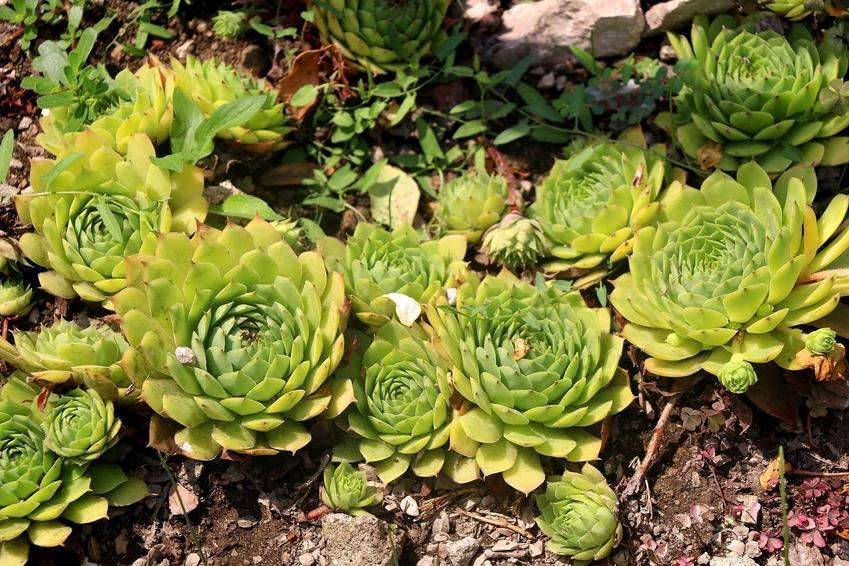 Rojnik murowy w ogrodzie oraz jego sadzenie, uprawa, pielęgnacja i właściwości lecznicze oraz zastosowanie