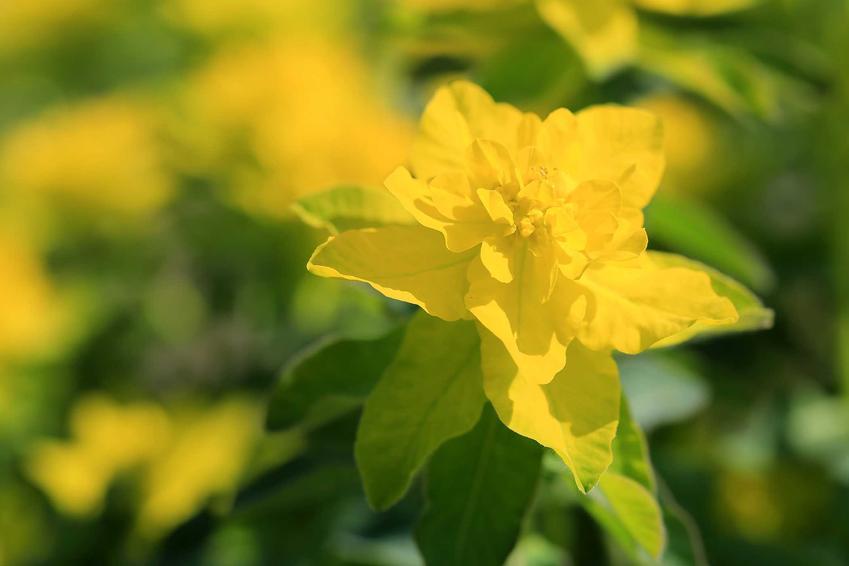 Wilczomlecz pstry euphorbia polychroma w czasie kwitnienia oraz charakterystyka, warunki uprawy, sadzenie, wymagania, pielęgnacja oraz porady