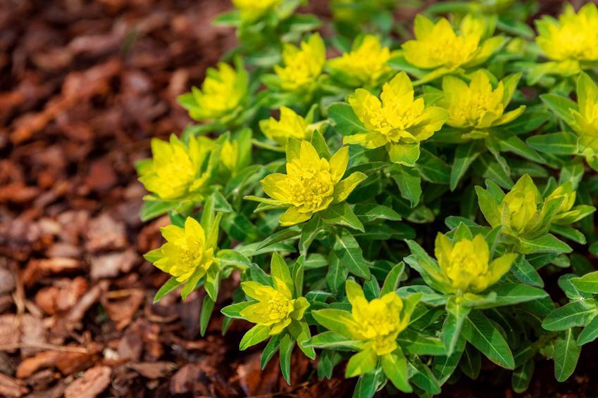 Wilczomlecz pstry w czasie kwitnienia w ogrodzie, a także opis, warunki uprawy, wymagania, stanowisko, kompozycje i pielęgnacja - porady