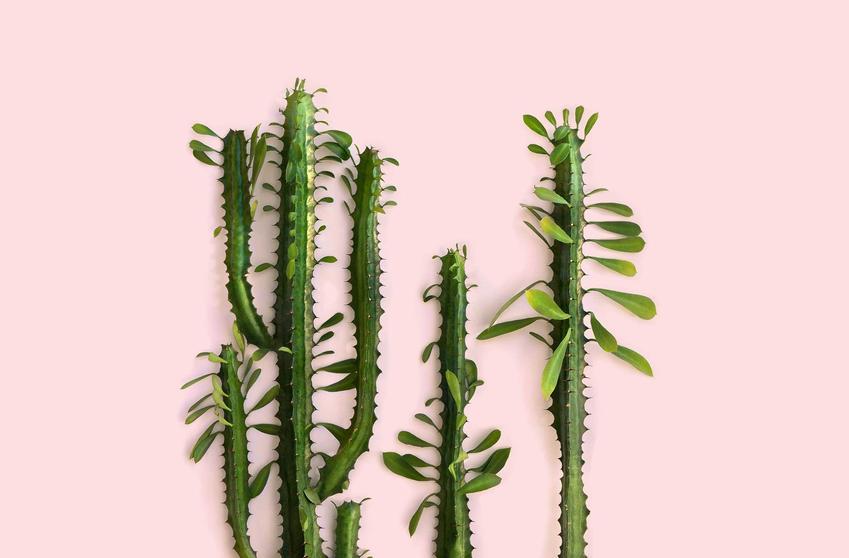 Wilczomlecz trójżebrowy z łaciny euphorbia trigona, czyli tak zwany wilczomlecz kaktus i jego uprawa, podlewanie i nawożenie