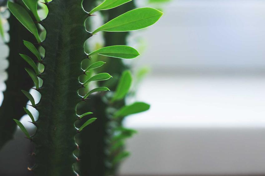 Wilczomlecz trójżebrowy euphorbia trigona, czyli wilczomlecz kaktus w doniczce i jego uprawa oraz pielęgnacja krok po kroku