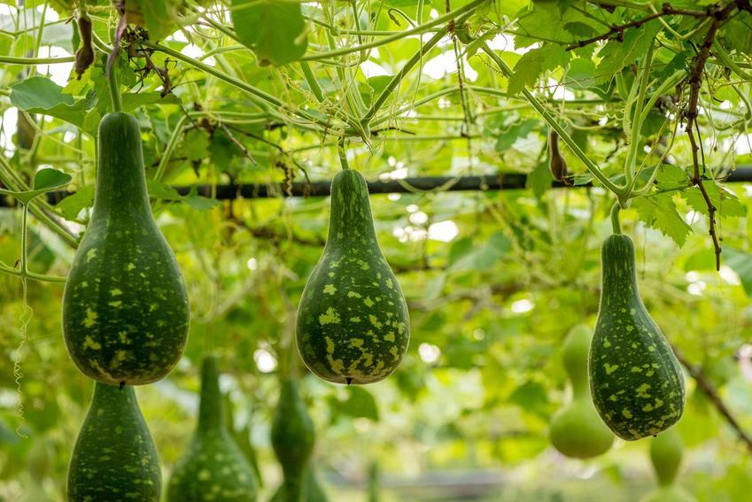 Tykwa pospolita oraz oryginalny owoc tykwy, a także wyroby z tykwy i jej odmiany, warunki uprawy, sadzenie, pielęgnacja oraz zastosowanie