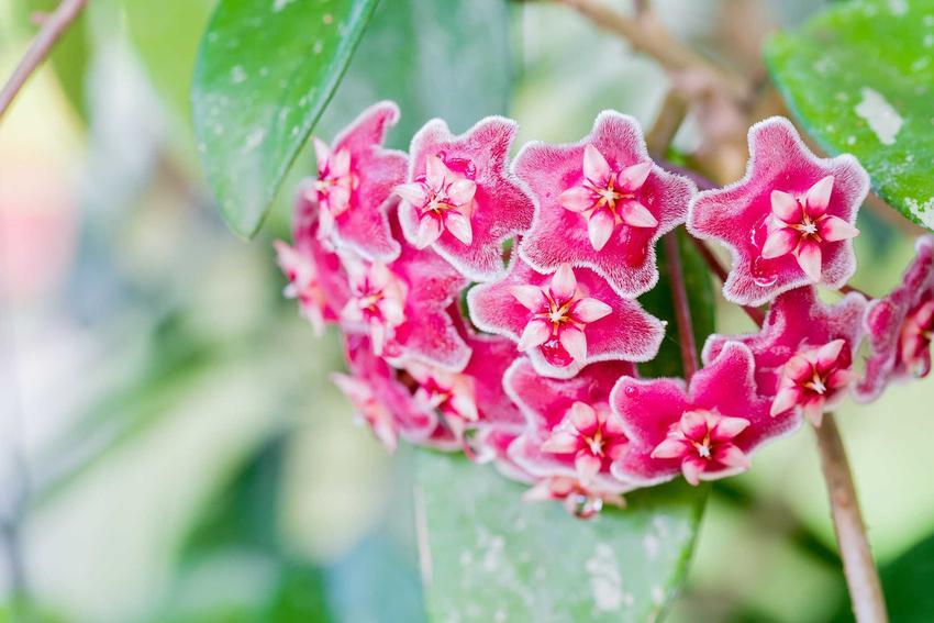 Hoja woskowiec w w czasie kwitnienie oraz popularne kwiaty doniczkowe, a także porady, jak pielęgnować hoję