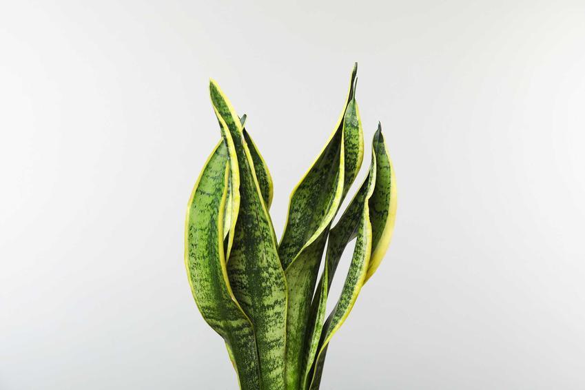 Sansewieria wężownica, czyli język teściowej jako popularny kwiat doniczkowy oraz jego cena, uprawa i pielęgnacja
