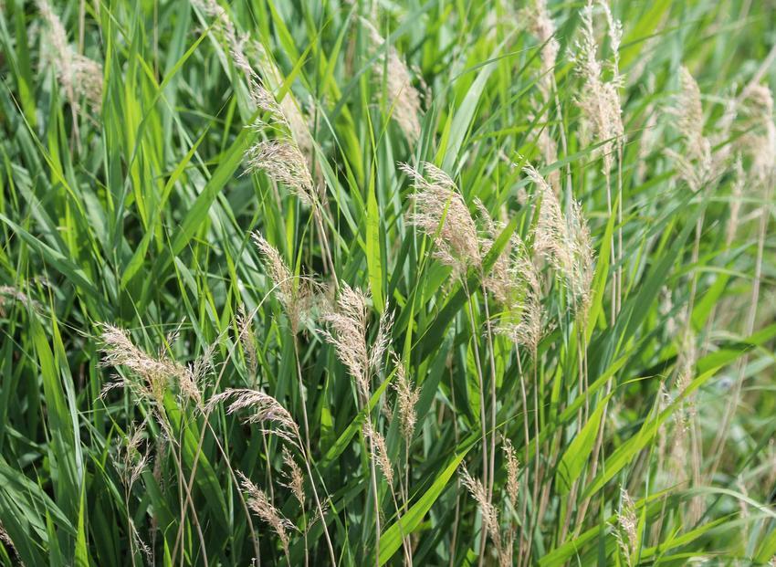 Trzcina pospolita czy też trzcina wodna oraz jej sadzonki, uprawa i zastosowanie, sadzenie oraz pielęgnacja rośliny