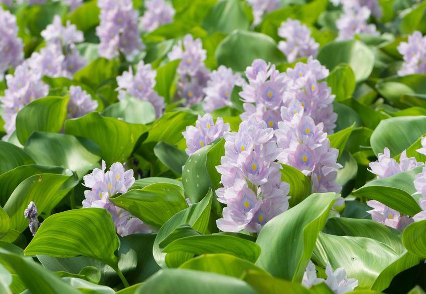 Hiacynt wodny w czasie kwitnienia oraz warunki uprawy, wymagania, stanowisko, wykorzystanie, pielęgnacja hiacynta wodnego i jego zimowanie