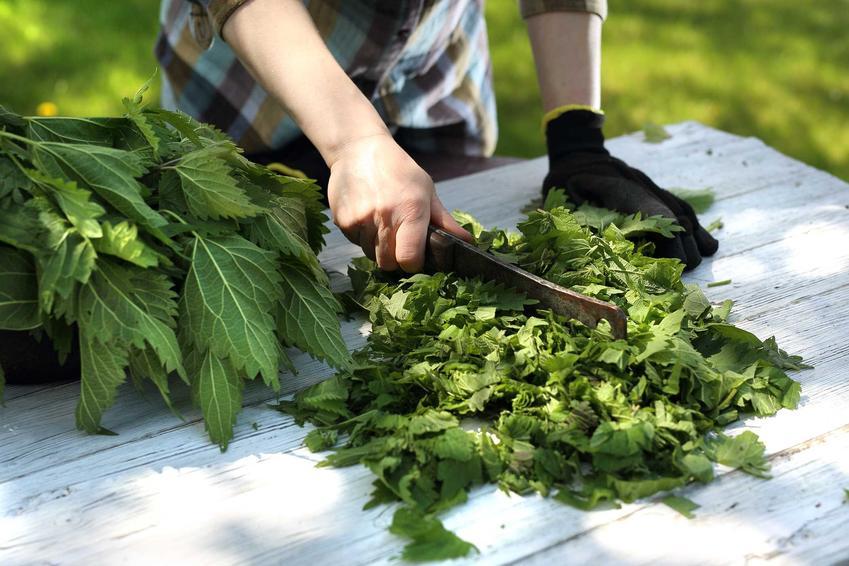 Pokrzywa podczas krojenia oraz sok z pokrzywy i syrop z pokrzywy oraz przepisy, składniki, proporcje, właściwości i dawkowanie