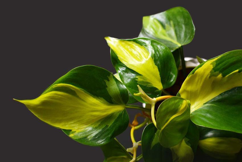 Filodendron pnący i filodendron monstera jako filodendrony doniczkowe oraz ich sadzenie, pielęgnacja, wymagania i podlewanie