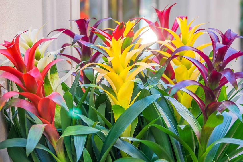 Kolorowe bromelie, czyli bromelia doniczkowa i jej uprawa, pielęgnacja czy kwitnienie, a także nawożenie, podlewanie i wskazówki
