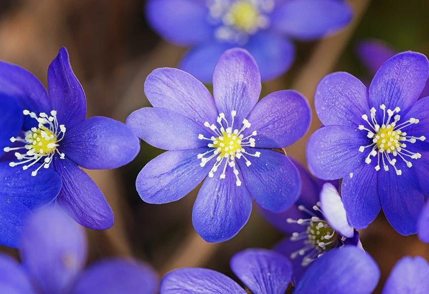 Przylaszczka pospolita w czasie kwitnienia oraz przylaszczki ogrodowe i ich odmiany, a także uprawa i pielęgnacja przylaszczki