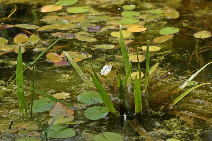 Strzałka wodna sagittaria sagittifolia w oczku wodnym jako ciekawa roślina wodna oraz pielęgnacja w ogrodzie