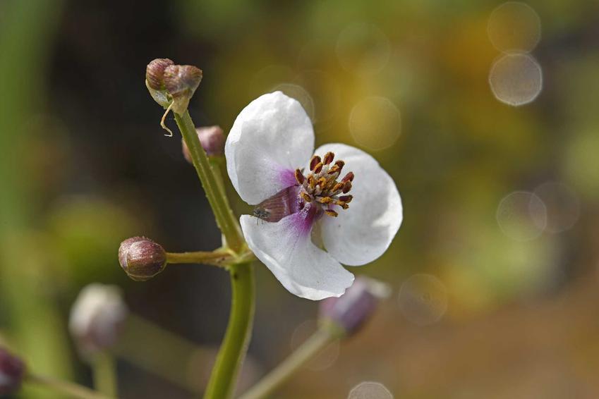 Strzałka wodna z łaciny sagittaria sagittifolia w czasie kwitnienia jako roślina wodna w oczku wodnym lub stawie