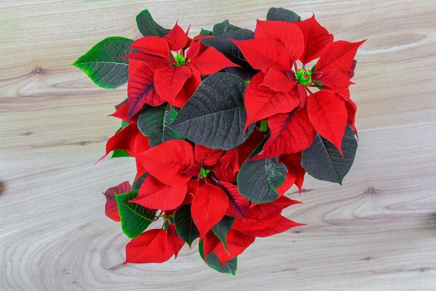 Róża betlejemska w domu oraz porady jak pielęgnować gwiazdę betlejemską i jak dbać o gwiazdę betlejemską