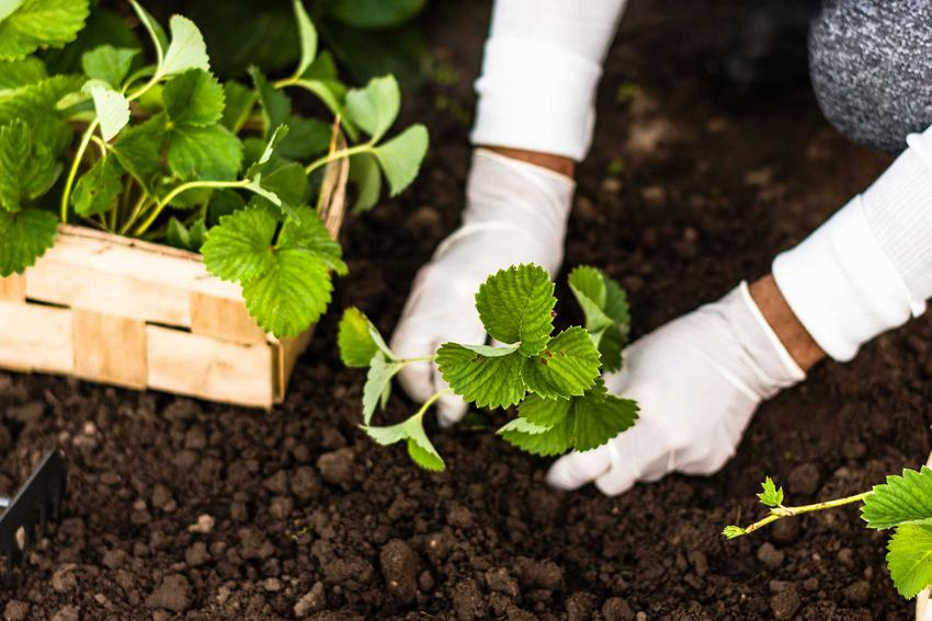 Truskawki podczas sadzenia w ogrodzie oraz popularne odmiany truskawek, ich rodzaje i gatunki - warunki uprawy, wymagania, pielegnacja