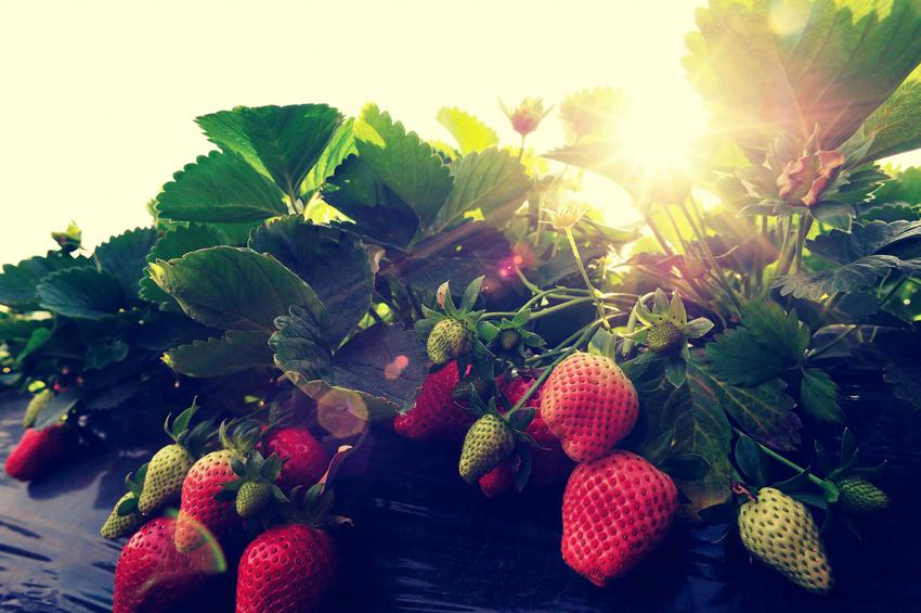 Duże truskawki dojrzewające w słońcu oraz popularne odmiany truskawek, ich rodzaje i gatunki - warunki uprawy, wymagania, pielęgnacja