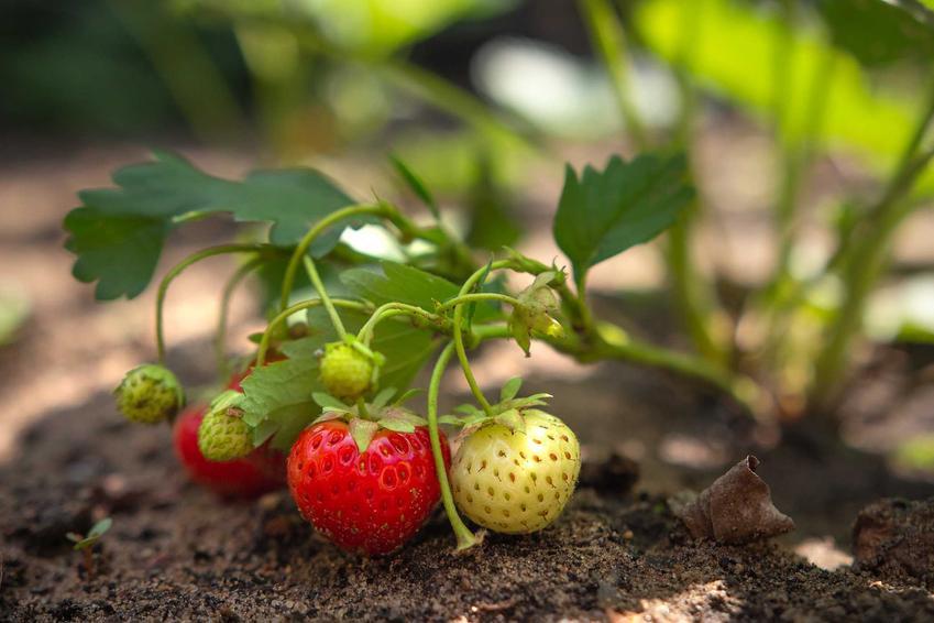 Owoce truskawki na krzaczku w ogrodzie oraz odmiany truskawek, ich rodzaje i polecane gatunk - sadzenie, wymagania, warunki uprawy