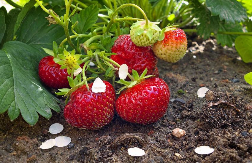 Duże, dojrzałe truskawki w ogrodzie oraz popularne sadzonki truskawek, ich cena i najsmaczniejsze odmiany do ogrodu