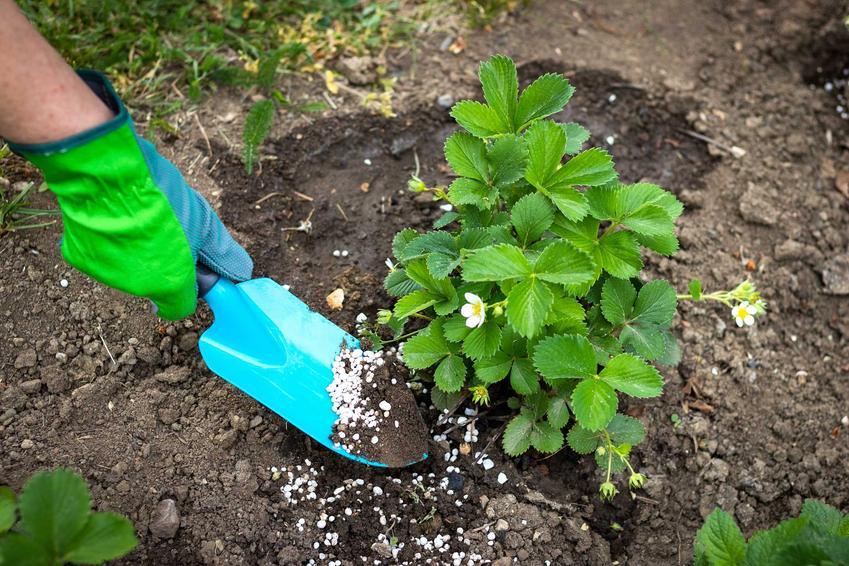 Sadzenie truskawki w ogrodzie oraz jej nawożenie, a także popularne sadzonki oraz najlepsze odmiany truskawek do ogrodu