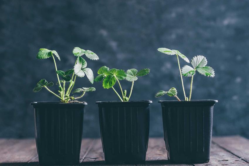 Sadzonki truskawki w doniczkach, czyli sadzonki truskawek popularnych odmian i ich cena w sklepach ogrodniczych