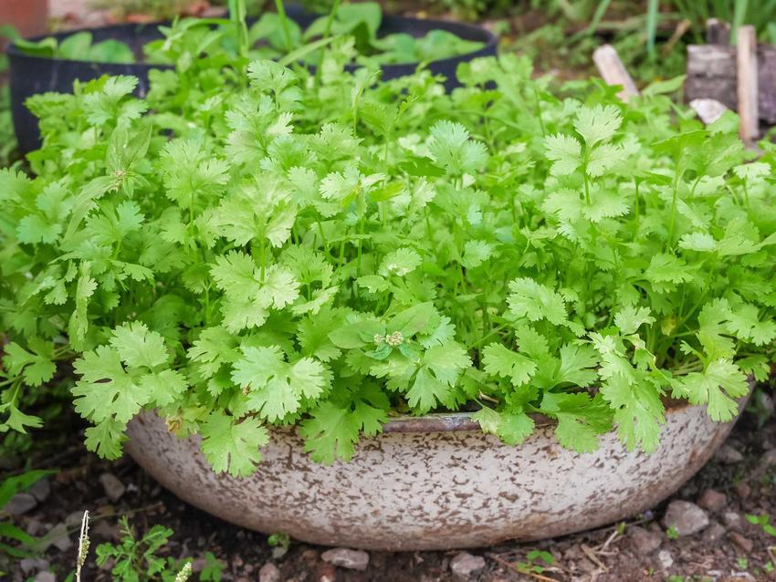 Kolendra w donicy, jej właściowości i zastosowanie oraz uprawa kolendry i jej hodowanie, czyli porady, jak sadzić kolendrę