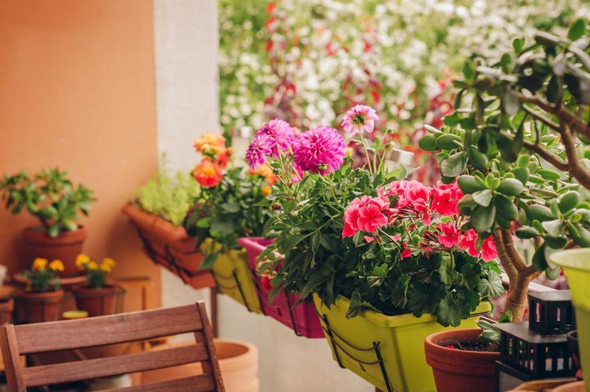 Dalia w doniczce na balkonie oraz dalie w donicach na balkonie, ich pielęgnacja, uprawa, podlewanie i sadzenie