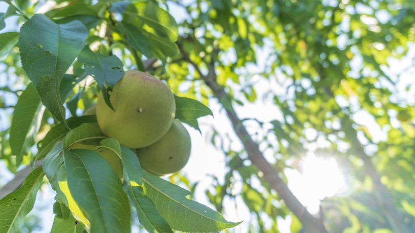 Grusza w ogrodzie oraz przycinanie gruszy, a także przycinanie innych drzewek owocowych w różnych terminach