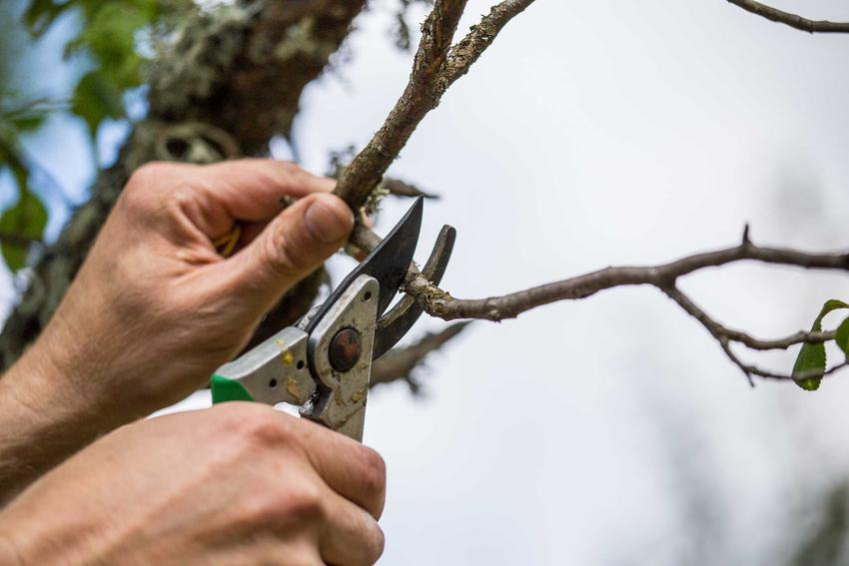 Przycinanie gruszy, czyli porady, jak przycinać grusze, a także przycinanie drzew owocowych w ogrodzie wiosną i jesienią