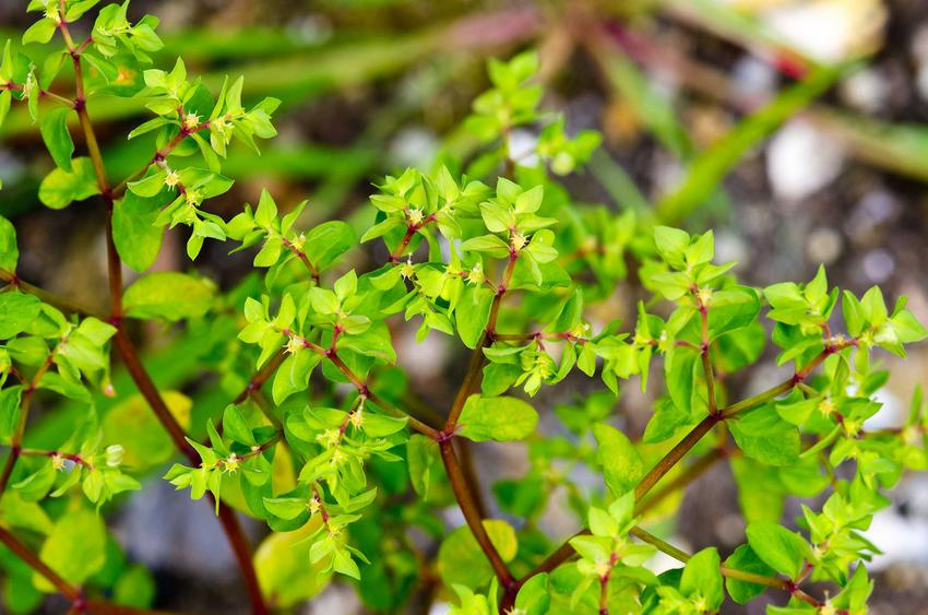 Wilczomlecz ogrodowy euphorbia peplus jako uroczy, uciążliwy chwast oraz sprawdzone, polecane sposoby jego zwalczania - porady
