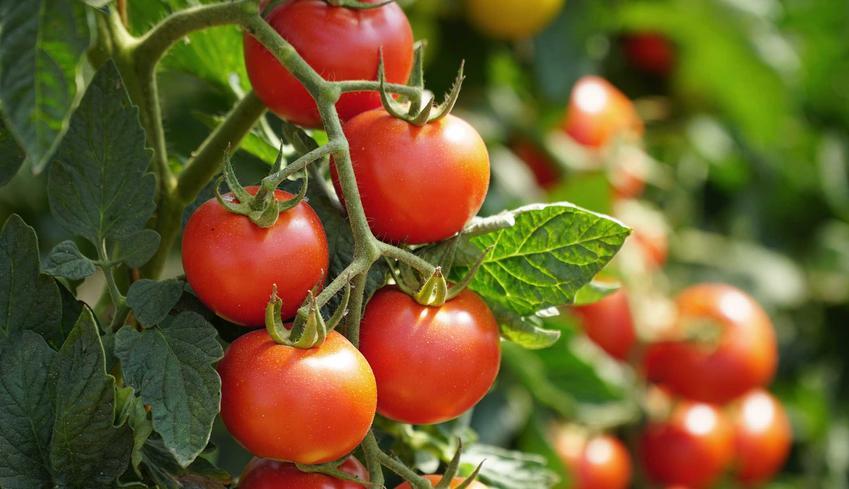 Pomidory na krzaczku, odmiany, warunki uprawy i pielegnacj, właściwości i zastosowanie, a także wyjaśnienie kwestii, czy pomidor jest owocem czy warzywem