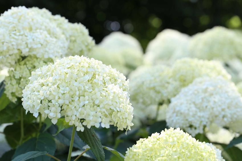 Hortensja biała w czasie kwitnienia, czyli hortensja ogrodowa biała, w tym hortensja kulista oraz jej uprawa i pielęgnacja