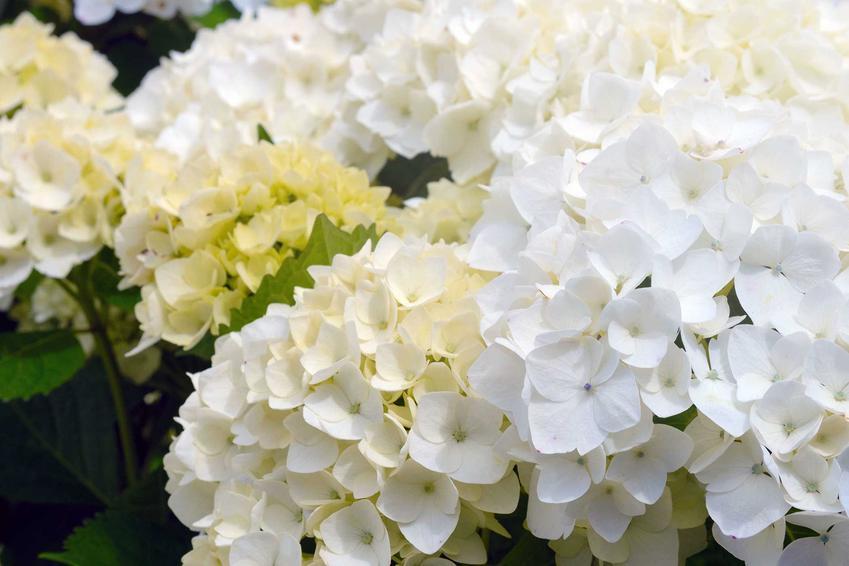 Hortensja biała, czyli hortensja ogrodowa biała, w tym hortensja kulista oraz jej uprawa i pielęgnacja