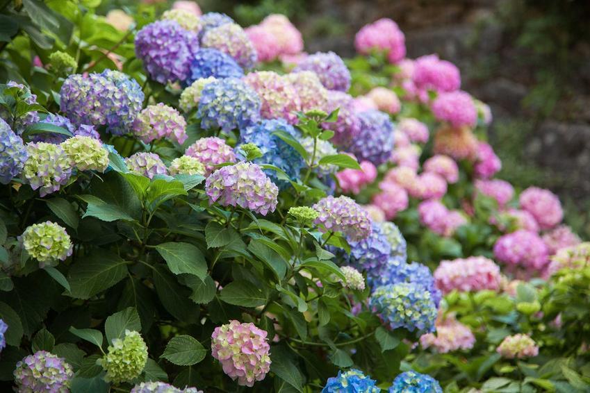 Kwitnienie hortensji oraz problem, gdy hortensja nie kwitnie oraz informacje, dlaczego hortensja nie kwitnie