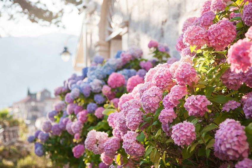 Pięknie kwitnąca hortensja w ogrodzie, a także pielęgnacja hortensji oraz warunki uprawy, wymagania, stanowisko, sadzenie - porady