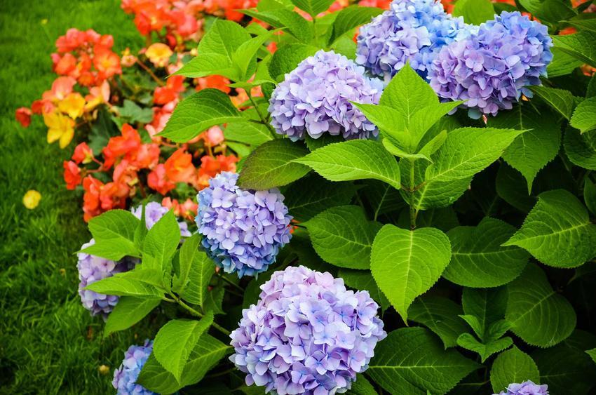 Hortensja ogrodowa niebieska w czasie kwitnienia, a także pielęgnacja hortensji oraz warunki uprawy, wymagania, stanowisko, sadzenie - porady