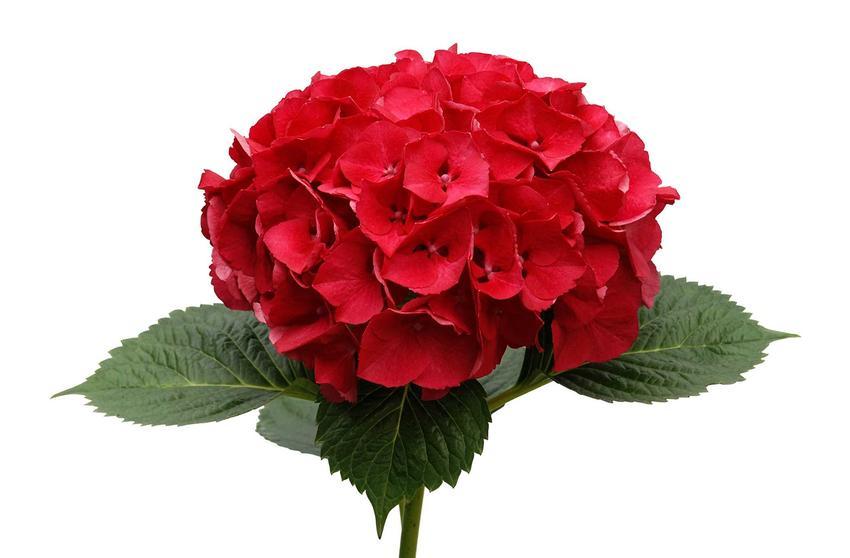 Kwiat hortensji czerwonej na białym tle, czyli hortensja ogrodowa hot red, a także jej uprawa i pielęgnacja w ogrodzie