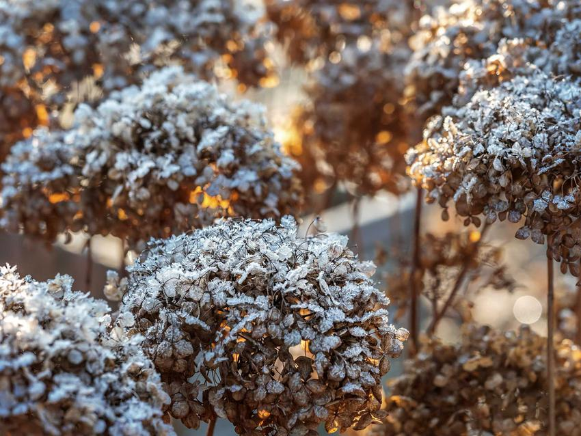 Zimowanie hortensji, czyli jak przezimować hortensję w donicach i zimowanie hortensji ogrodowej w ogrodzie