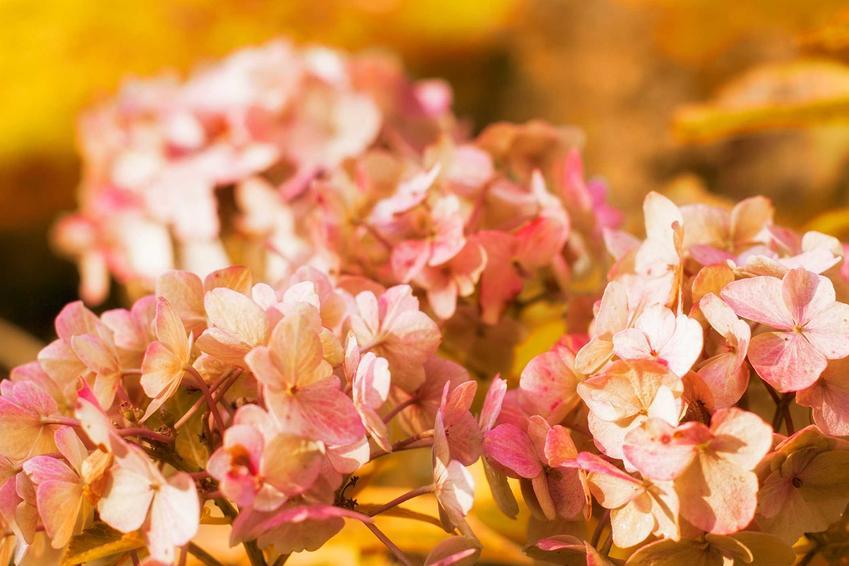Hortensja przed zimą, a także zimowanie hortensji ,czyli jak przezimować hortensję w donicach i zimowanie hortensji ogrodowej
