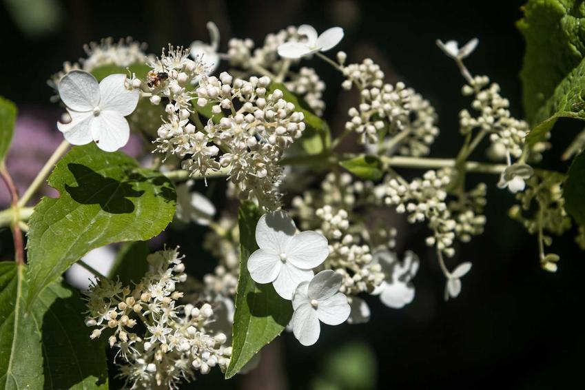 Hortensja Kyushu w czasie kwitnienia jako popularna hortensja bukietowa, a także jej uprawa i pielęgnacja w ogrodzie krok po kroku