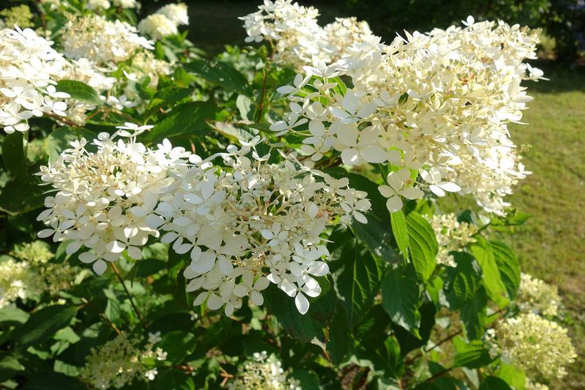 Hortensja levana w czasie kwitnienia jako popularna hortensja bukietowa, a także jej uprawa i pielęgnacja